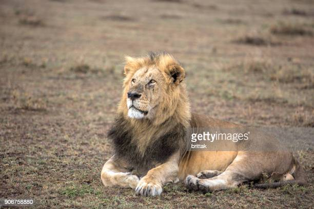 león macho en amboseli, kenia - paisaje árido fotografías e imágenes de stock