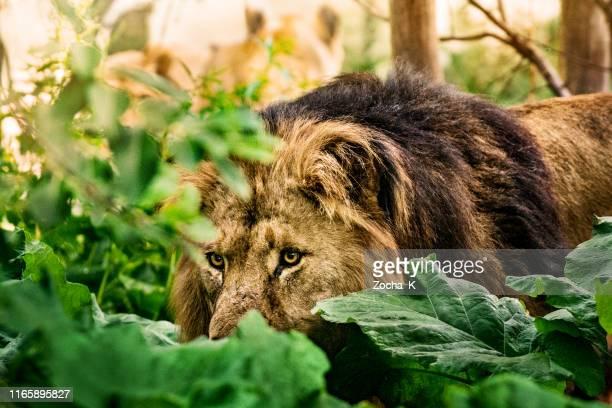 león macho lleva leones orgullo en la caza - leones cazando fotografías e imágenes de stock