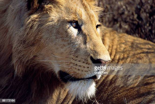"""male lion looking sideways, maasai mara game reserve, kenya."" - male animal stock pictures, royalty-free photos & images"