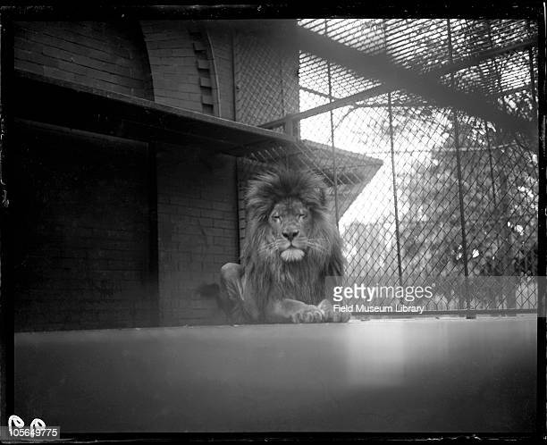 Male Lion mammal in cage Lincoln Park Zoo Chicago Illinois 1900