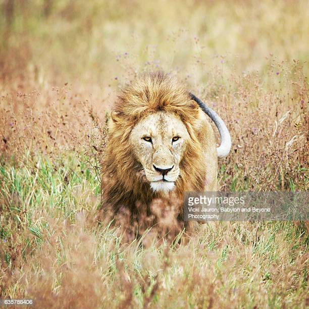 Male Lion Moving Through the Grass in Ngorongoro Crater, Tanzania