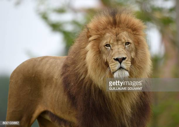 A male lion named Krugger looks on inside the new enclosure 'La Terre des Lions' at the Zooparc of Beauval on June 23 2017 / AFP PHOTO / GUILLAUME...