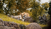 Male Lion napping on rocks