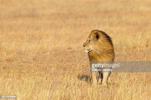 Male Lion on the Golden Serengeti Savanna, Tanzania Africa