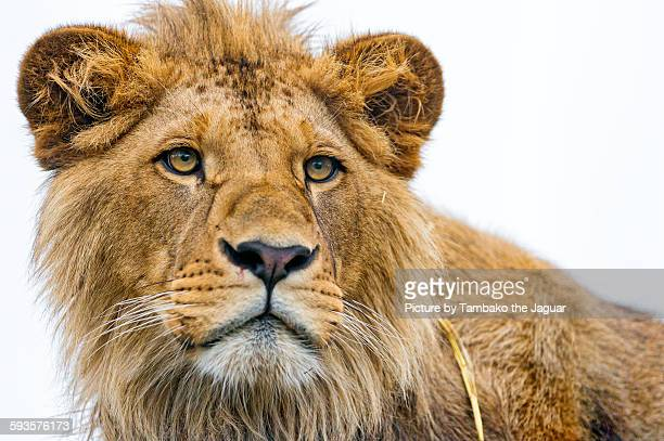 Male lion on white background