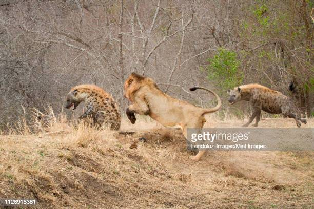 A male lion, Panthera leo, chasing a spotted hyena, Crocuta crocuta, a second hyena attacking the lion