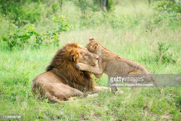a male lion, panthera leo, lies in green grass, a lion cub wraps its from leg around male's head while playing, looking away - male animal stock pictures, royalty-free photos & images