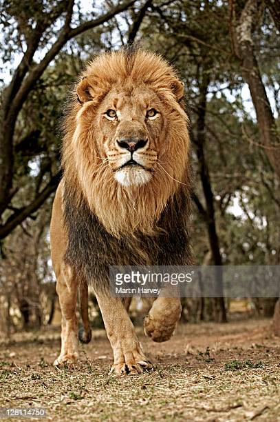 Male Lion, Panthera leo, running towards camera. South Africa.