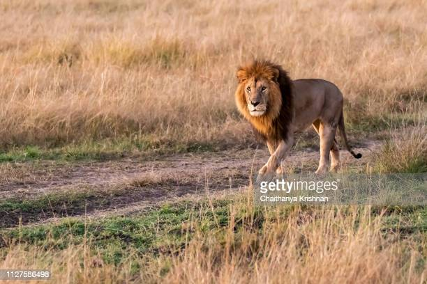 a male lion patrolling his territory in the plains of africa inside masai mara national reserve - carnivora stock pictures, royalty-free photos & images