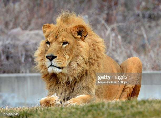 male lion - carnivora stock photos and pictures