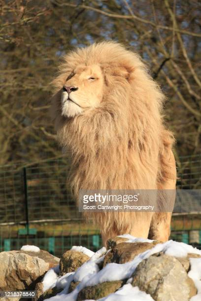 male lion - animal hair stock pictures, royalty-free photos & images