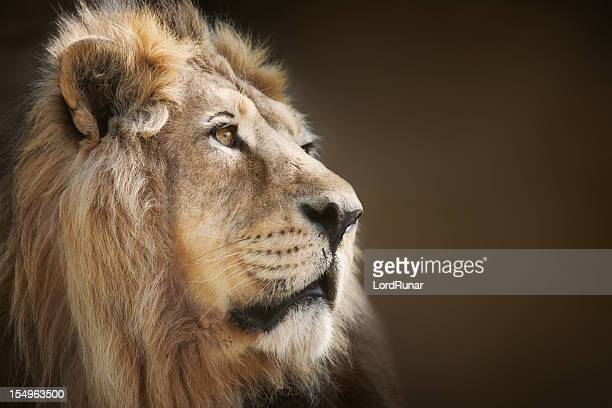 male lion - lion stockfoto's en -beelden