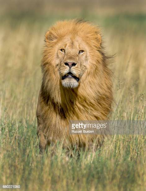 male lion - animais machos - fotografias e filmes do acervo