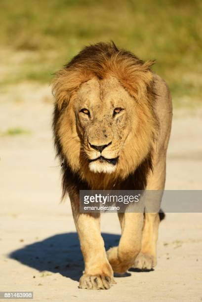 male lion - male animal stock photos and pictures