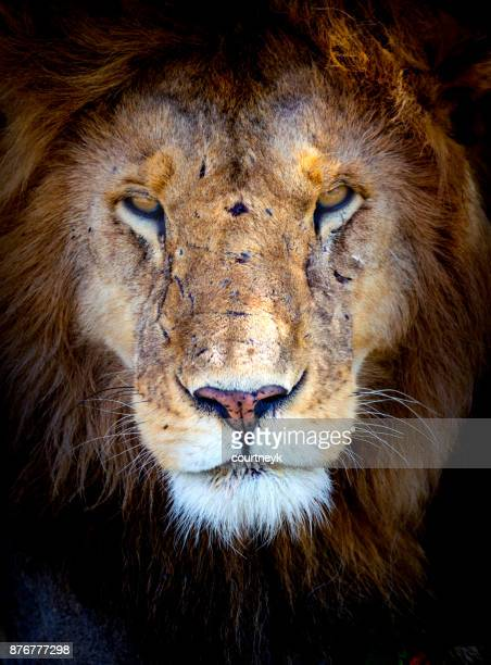 male lion portrait - dark panthera stock pictures, royalty-free photos & images