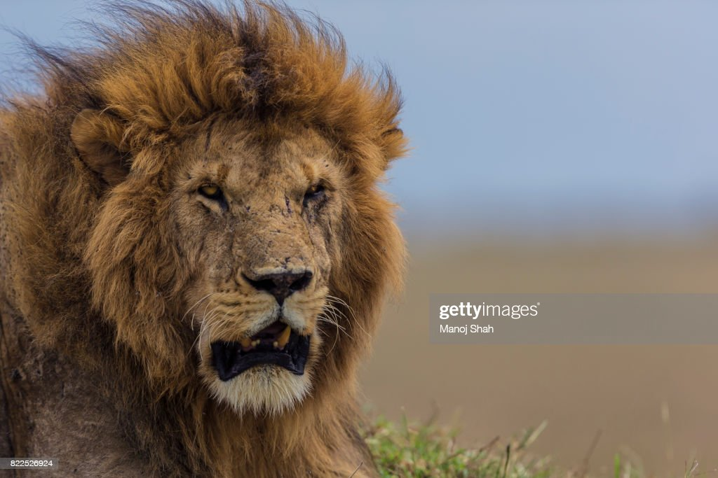 Male lion resting : Stock Photo