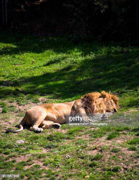 male lion resting under sun - carnivora stock photos and pictures