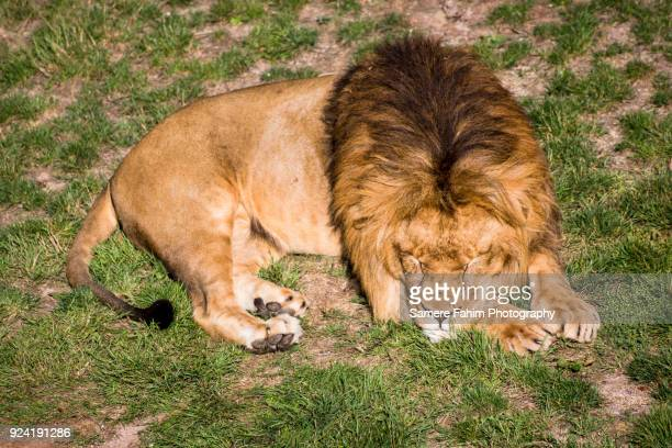 male lion resting under sun - samere fahim stock photos and pictures
