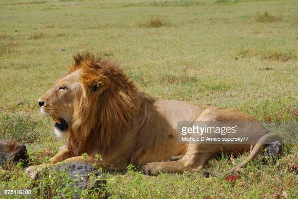 male lion resting under the hot sunshine in the ngorongoro crater - mount meru stock photos and pictures
