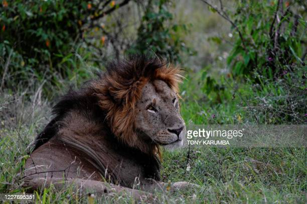 Male lion rests in the grass at the Maasai Mara National Reserve where the spectacular annual migration of Wildebesst into Kenya from Tanzania is...