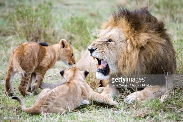 male lion (panthera leo) roaring at cubs, masai mara national reserve, kenya - lion cub - fotografias e filmes do acervo