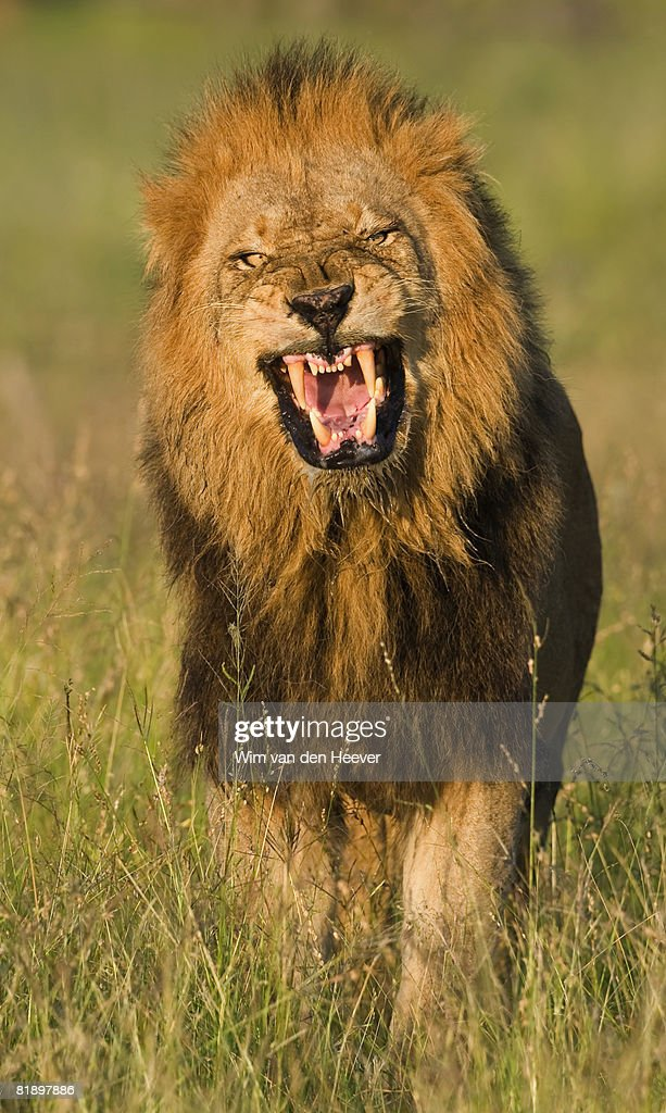male lion roaring greater kruger national park south africa stock