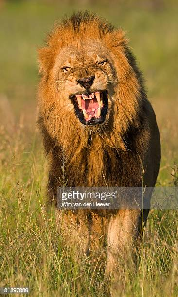 male lion roaring, greater kruger national park, south africa - male animal stock photos and pictures