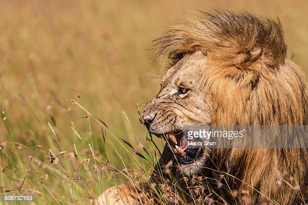 Male lion roaring in a mating climax