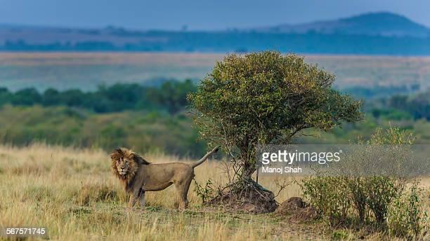 male lion scent marking bush - マーキング ストックフォトと画像