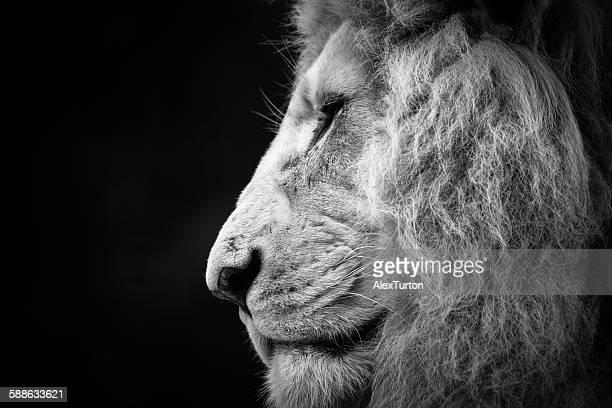 Male lion side portrait