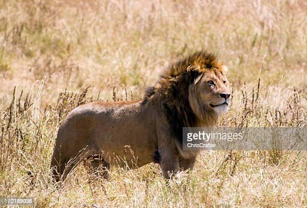 Male Lion side profile in summer grass