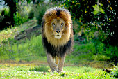 Male Lion staking prey
