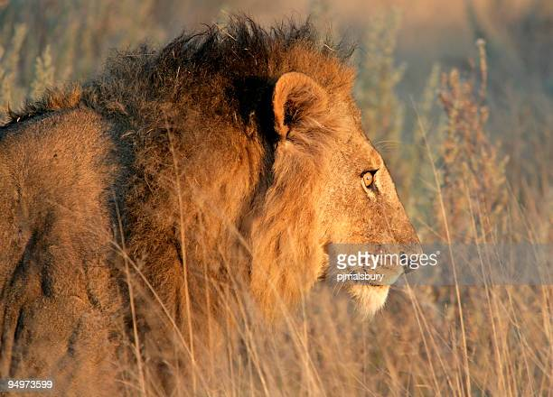 male lion stalking - southern africa stock pictures, royalty-free photos & images
