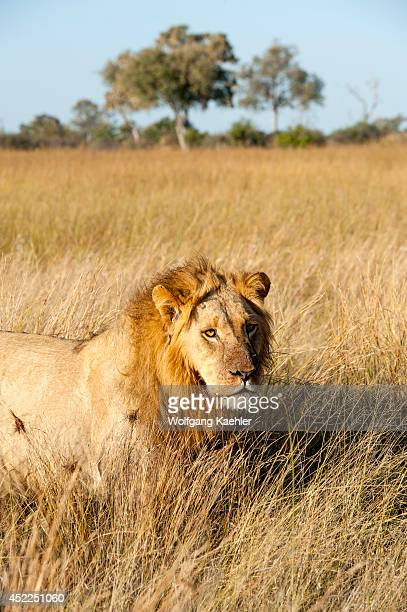 Male lion stalking through grass at the Linyanti Reserve near the Savuti Channel in northern part of Botswana
