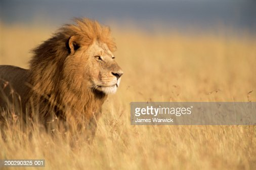 male lion standing in long grass side view stock photo
