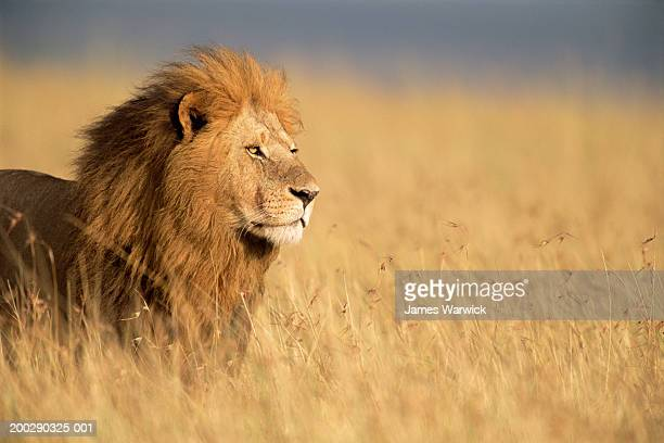 male lion (panthera leo) standing in long grass, side view - lion stock pictures, royalty-free photos & images