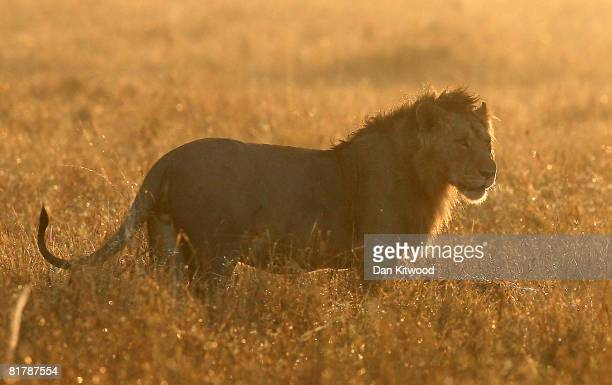 A male Lion stands over a previous nights kill on December 14 2007 in the Masai Mara Game Reserve Kenya