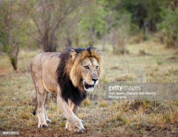 Male Lion Walking in Landscape at Masai Mara, Kenya