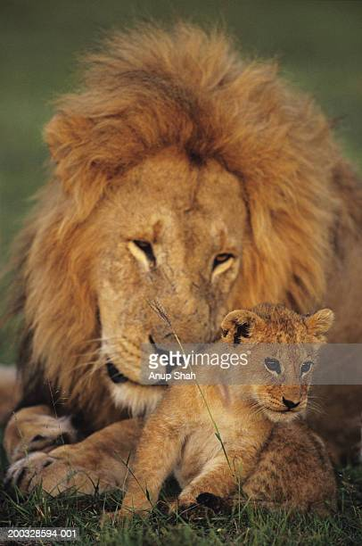 male lion (panthera leo) with cub, masai mara national reserve, kenya - animais machos - fotografias e filmes do acervo