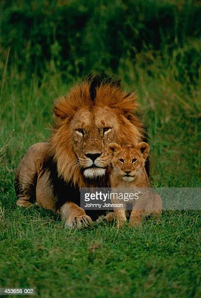 Male lion (Panthera leo) with cub, Tanzania