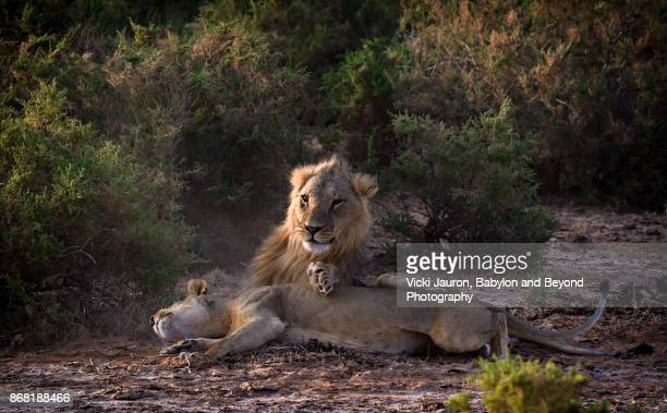 Male Lion with Paw on Lioness in Samburu, Kenya