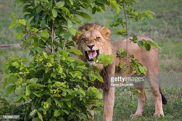 male lion with teeth bared, botswana - manly wilder stock-fotos und bilder