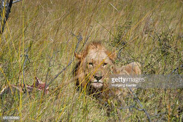 Male lions feeding on elephant baby at the Linyanti Reserve near the Savuti Channel in northern part of Botswana
