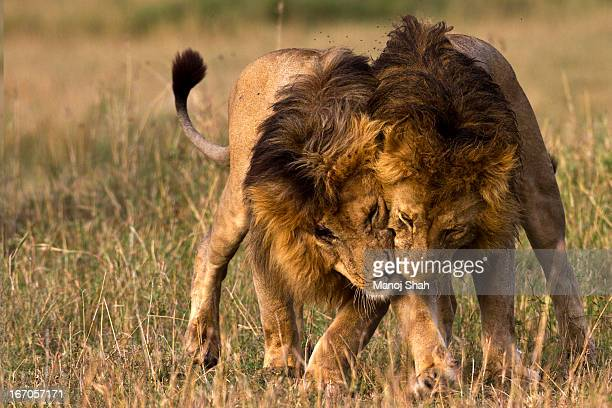 Lion fight stock photos and pictures getty images male lions greeting m4hsunfo
