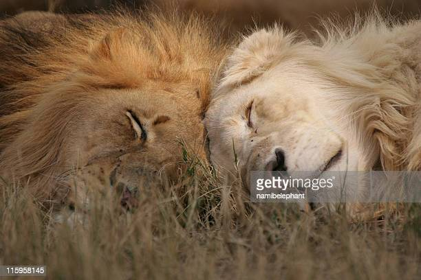 male lions - lion feline stock pictures, royalty-free photos & images