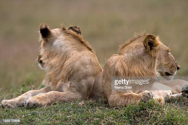 2 Male lions surveying the area.