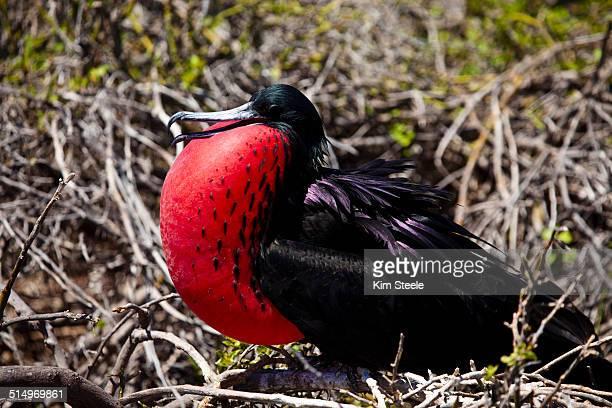 Male Magnificent Frigate Bird