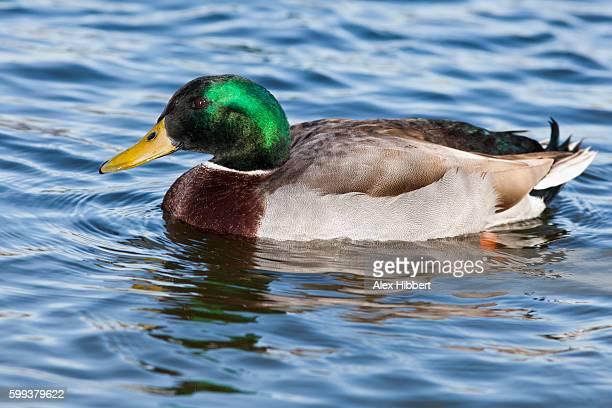 male mallard - anas platyrhynchos, uk - mallard duck stock pictures, royalty-free photos & images