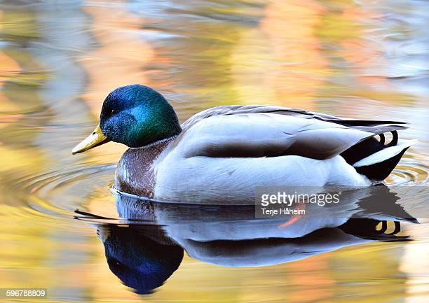 Male mallard duck in autumn sun