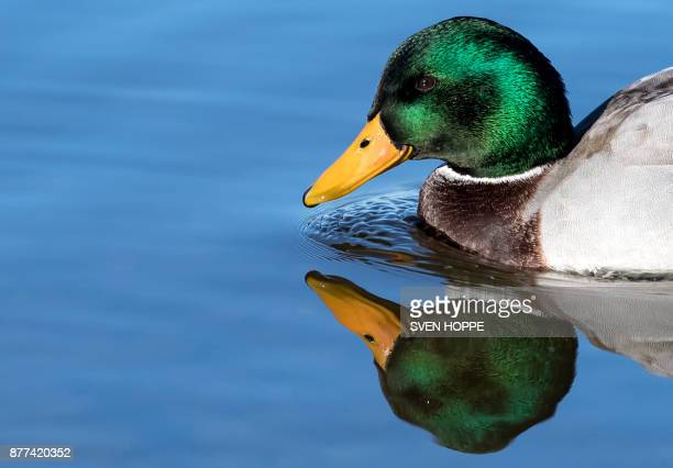 A male mallard duck reflects in the water of the Schliersee lake in Schliersee southern Germany on November 22 2017 / AFP PHOTO / dpa / Sven Hoppe /...